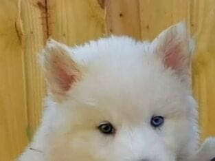 Siberian Huskies for Rehoming with Fee