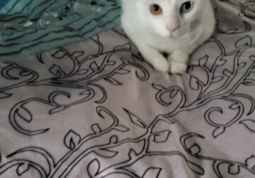 White Cat with blue/gold eyes