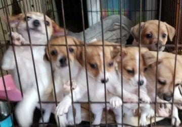 Puppies, Jack Russell Terriers