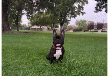 French Bulldog (10 Months Old)