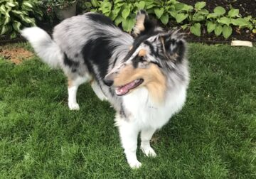 6 month old Loving Merle Collie Pup