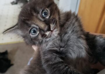 Maine Coon mixed Kittens 150 or best offer!!!!