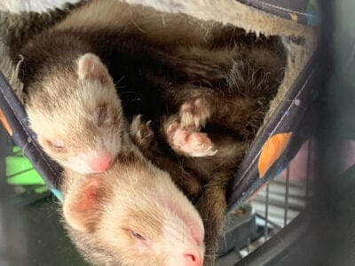 Two super sweet adorable ferrets