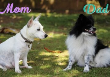 Pomchi Pups available today! 1 Boy and 1 Girl!!