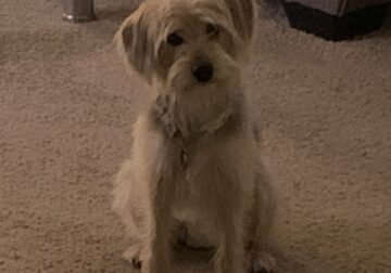 Yorkie Mix looking for a new loving home