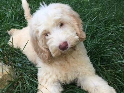 Precious Authentic Labradoodle Available