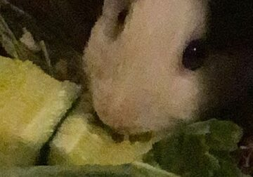 Guinea Pig w/ cages and assortment of items