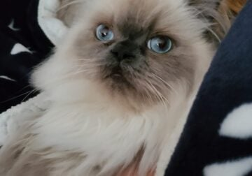 Two year old Persian cat
