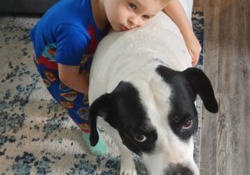 Rehoming a sweet lab pitbull mix