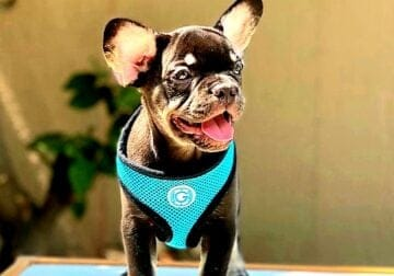 AKC – Frenchie pup 12 weeks