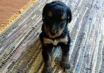 F1 Standard Bernedoodle Puppies Available!