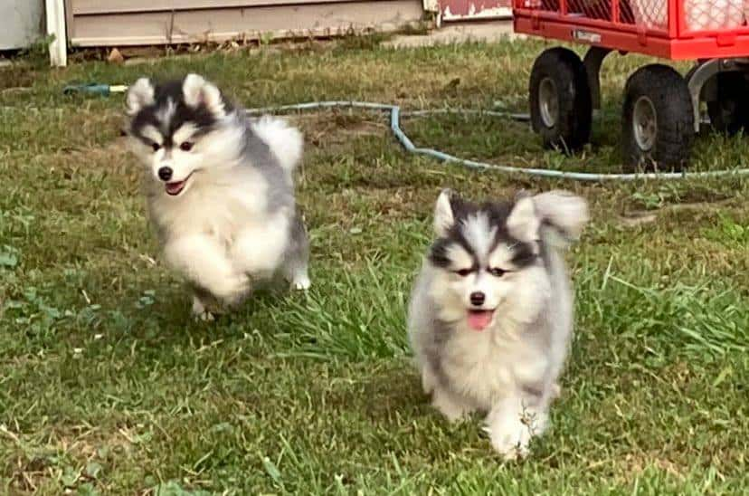 Pomsky Puppies looking for their new home!