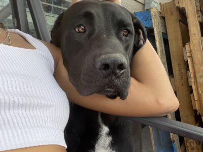 REHOMING AN 11 MONTH FEMALE DANIFF PUPPY
