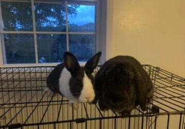 Bunnies free to a good home