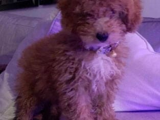 Red Toy Poodle – 8 months
