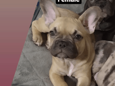 Frenchie Puppies 11 weeks