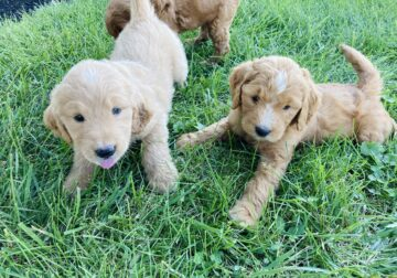 Goldendoodles F1 (1st generation) puppies for sale