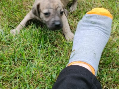 Beautiful mountain cur puppies for sale