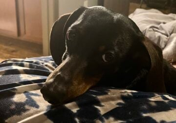 Looking for a female mini Doxie