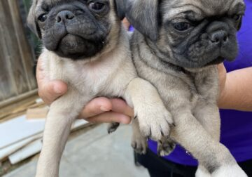 SWEET PUGS need in a forever Home!!! [Rehoming Fee
