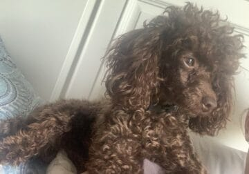 2 yr old male toy poodle 5 pounds