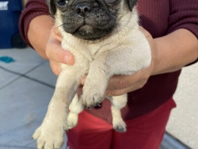 Male Pug puppy REHOME