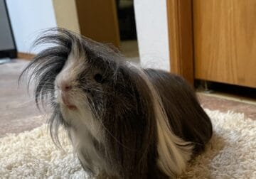 Young Male Guinea Pig & supplies