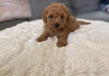 I have 4 Gorgeous Super Cute Red Maltipoo Puppies!