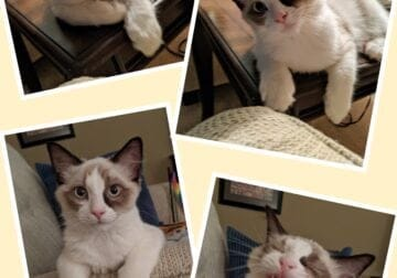 Rehoming Sealpoint Bicolor Ragdoll Male