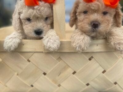 Toy Poodle Puppies **Located in GA**