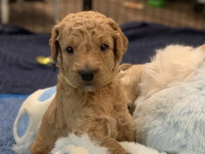 Goldendoodle puppies born on National Dog Day