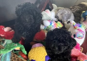 Toy poodle AKC with papers, health tested