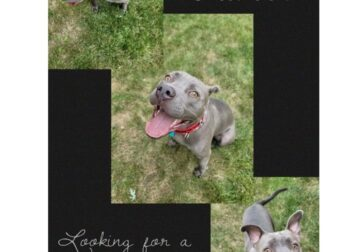 Silver Pit Bull 2 year old