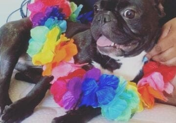Super-Friendly Frenchie Phoebe Needs A New Home