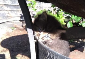 Long-haired Kittens For Sale