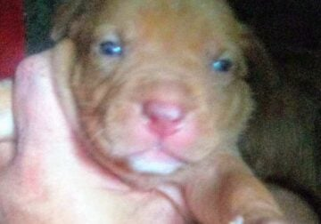 FOR SALE – American Colbey Red Nose Pit puppies