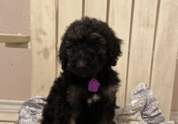 Standard Poodle DROPPED $$$