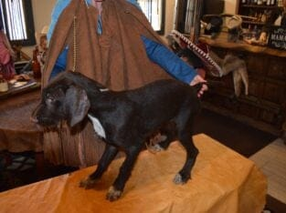 AKC Champion Blood Lines German Wirehaired Puppy