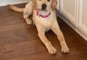 Lab for Sale