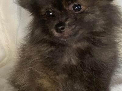 Adorable, healthy and Platyful Pomeranian Puppies