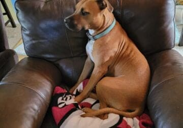 Free to rehome 1 and half year old boxer mix.