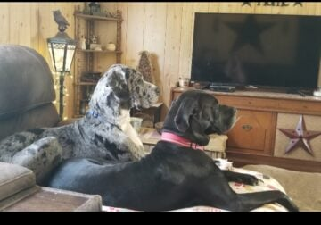 I have 2 great Danes im having to rehome them