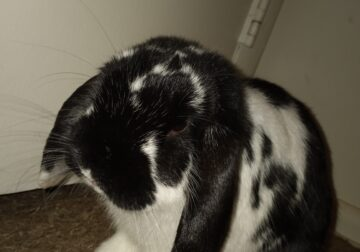NEUTERED Male Lopeared bunny rabbit w/2cages