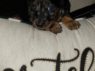 Mini Dachshunds puppies for Sale