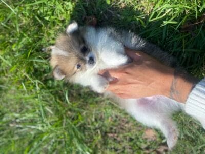 Pure Bred Pom Puppies- 7 Weeks