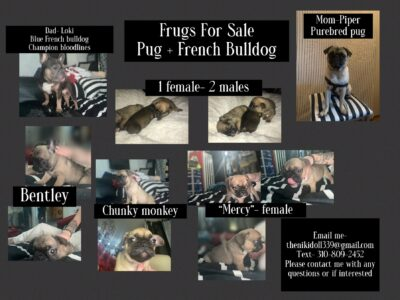 FRUG puppies for sale (French bull dog + pug)