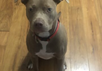 Pure Breed Female Red Nose PitBull Terrier Puppy
