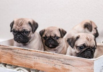 The Cutest Pug Puppies