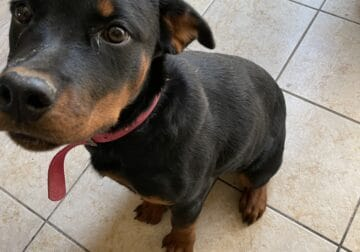 5 month old Rottweiler puppies!