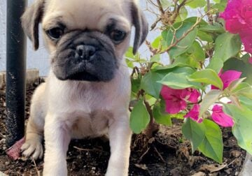 FAWN COLOR PUG PUPPIES 🐶